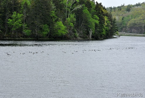 1. Cormorants in river DSC_0032
