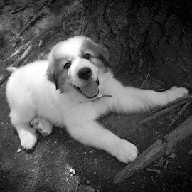 Great Pyr Pup by Greg Sell - Animals - Dogs Puppies ( k9, pup, fur, great pyranees, puppy, dog )