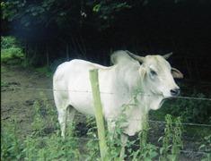 1981.07.12-020.02 vache sacrée des Indes