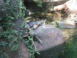 A crocodile at the Nashville Zoo 09032011b