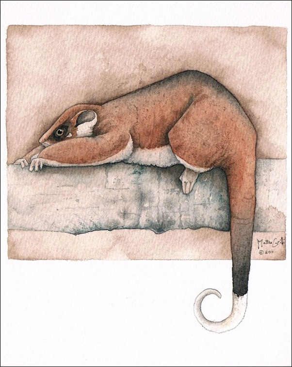 Matteo Grilli - Ringtail Possum Stretching