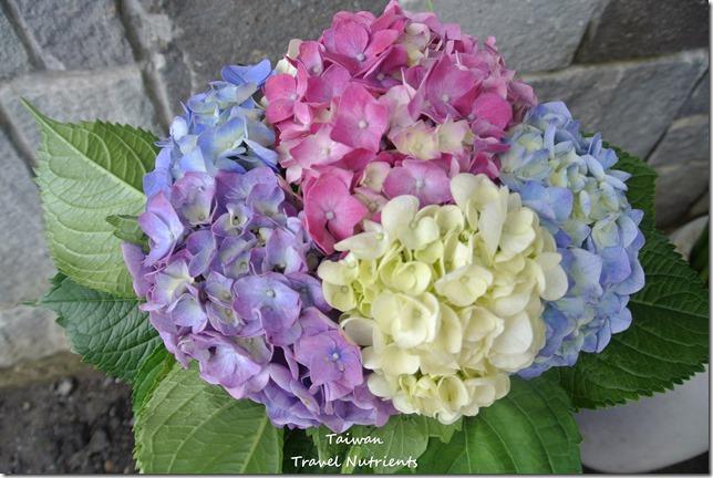 陽明山繡球花 (81)