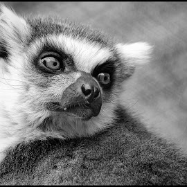 Ring Tailed Lemur by Dave Lipchen - Black & White Animals ( ring tailed lemur )