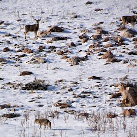 Coyote stalking deer, Antelope island Utah by John Dodson - Animals Other Mammals