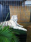A white tiger at Navy Pier Park in Chicago 01152012a