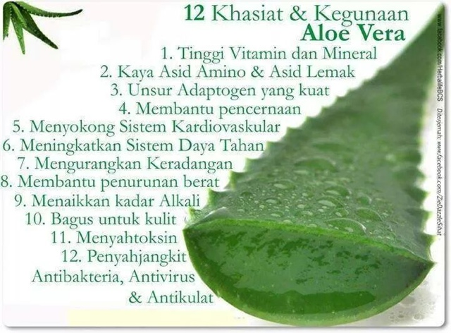 Khasiat dan Kegunaan Aloe Vera.