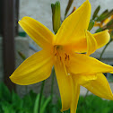 Canada Lily