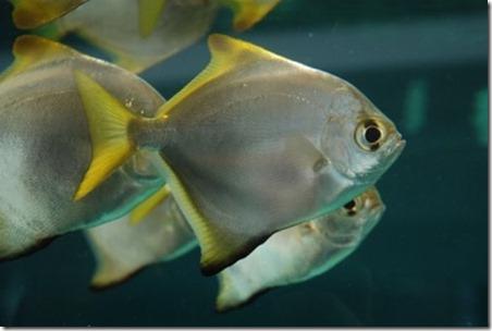 be-ca-canh-silver_batfish_silver_moony_cachimdoibac-be-thuy-sinh