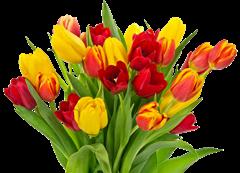 tulip clipart (25)