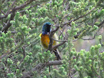 Orange-breasted sunbird (photo by Clare).