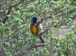 Orange-breasted sunbird (photo by Clare).