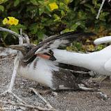 Expulsando o intruso - Rabida, Galápagos