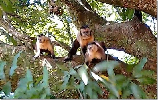 Macacos Prego