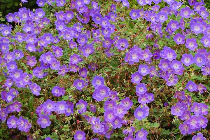 Piante fiorite perenni per aiuole amazing perfect piante for Piante e fiori perenni per aiuole
