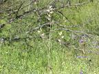 Lyreleaf Jewelflower 3/25