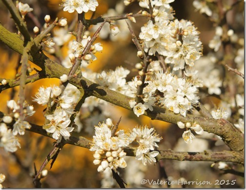 6-Blackthorn-Blossom