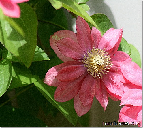 Clematis Little Mermaid4