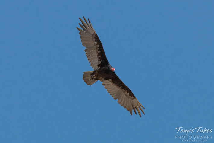 A Turkey Vulture in flight. (© Tony's Takes)