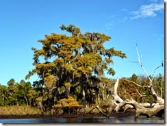 Cypress tree on the Withlacoochee