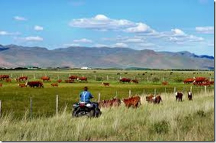 Idaho-Archo-Rancher-Herding-Cattle-on-Four-Wheeler