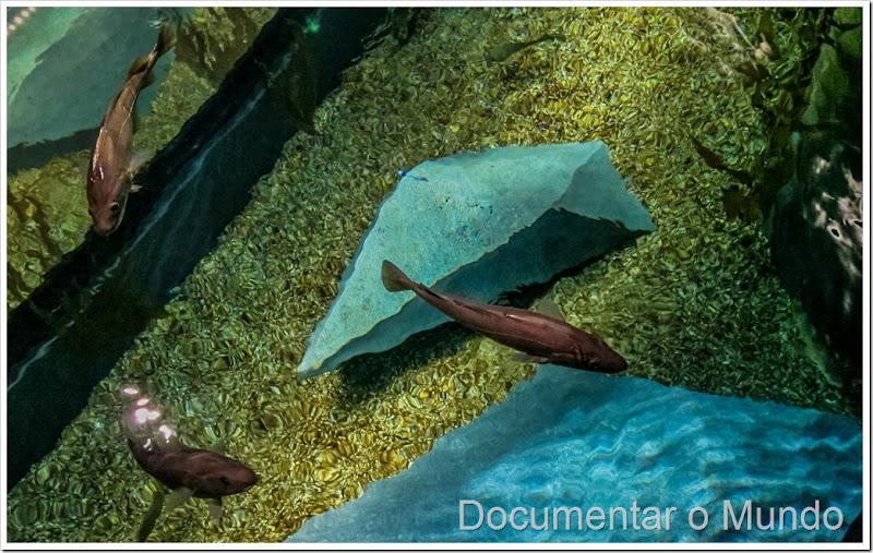 Gadus morhua, o bacalhau do Atlântico, Aquário dos Bacalhaus, Museu Marítimo de Ílhavo