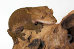 Pocket - Patternless buckskin adult female crested gecko from moonvalleyreptiles.com