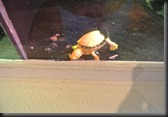 Albino Painter Turtle....Gues they ran out of color on this one.