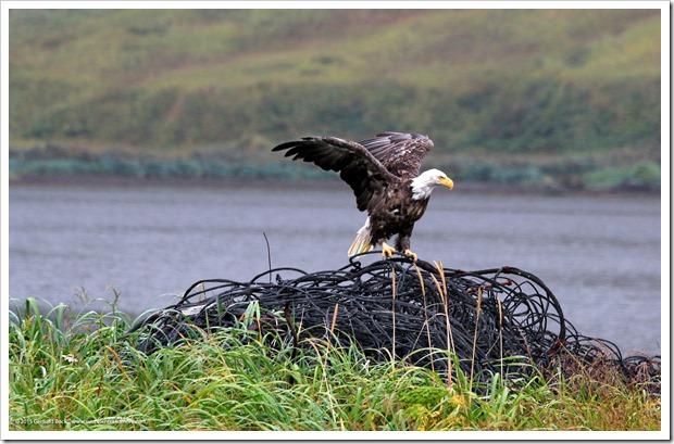 150908_Adak_eagle1_WM