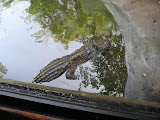 A crocodile at the Nashville Zoo 09032011a
