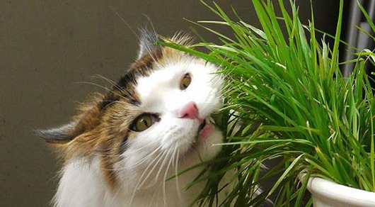 1426458340_grass-for-cats