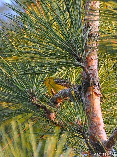 6. Pine Warbler-kab