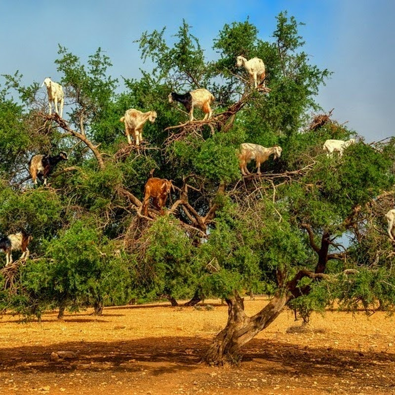 Tree Climbing Goats of Morocco