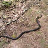 Very big snake!  Almost stepped on his head.  I though he was a stick at first.