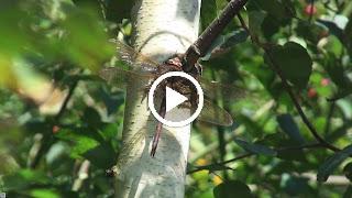 Bruine glazenmaker (mannetje) op berkenboom
