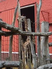 2006.08.28-002 girafes