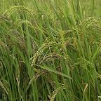 Ten ryż już prawie dojrzał.