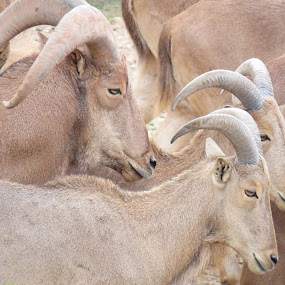 Big horn sheep by Scott Thomas - Animals Other Mammals ( mammals, pattern, nature, sheep, animal )