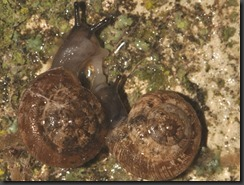 Candidula camporroblensis