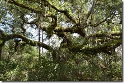 Live oak with resurrection ferns 2
