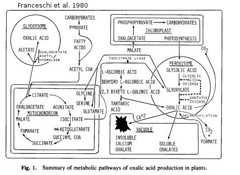Formation de l'acide oxalique chez les plantes
