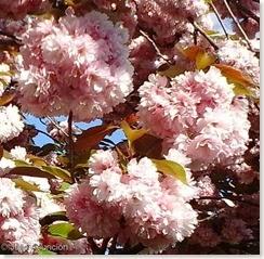 Flores del cerezo japonés