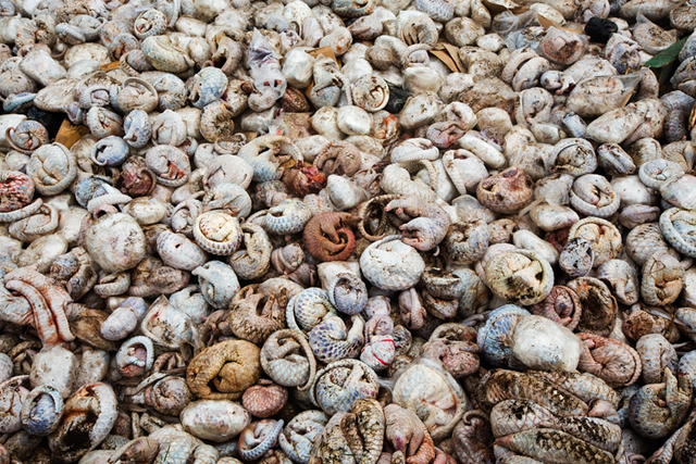 Three to four thousand frozen pangolins lie in a pit before being burnt in Medan, Indonesia. This huge seizure was a joint operation between the Indonesian National Police's criminal investigation division and the Wildlife Conservation Society's wildlife crimes unit, from a warehouse in Medan, the largest city on the island of Sumatra, on 23 April 2015. A total of 96 live animals were found including five tonnes of frozen pangolins, 77kg of scales with an estimated street value of $1.8m (£1.2m), plus 24 bear paws. Photo: Paul Hilton / WCS