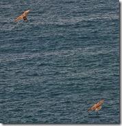 peregrine falcons  (1)