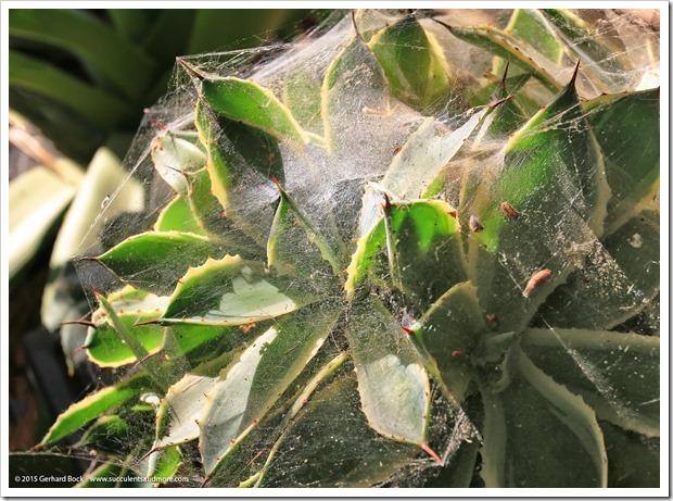 150611_spiderwebs_003