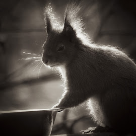 Squirrel in a soft glow by Fiona Etkin - Black & White Animals ( backlit, nature, black and white, red squirrel, british wildlife, rodent, portrait, soft glow, animal )