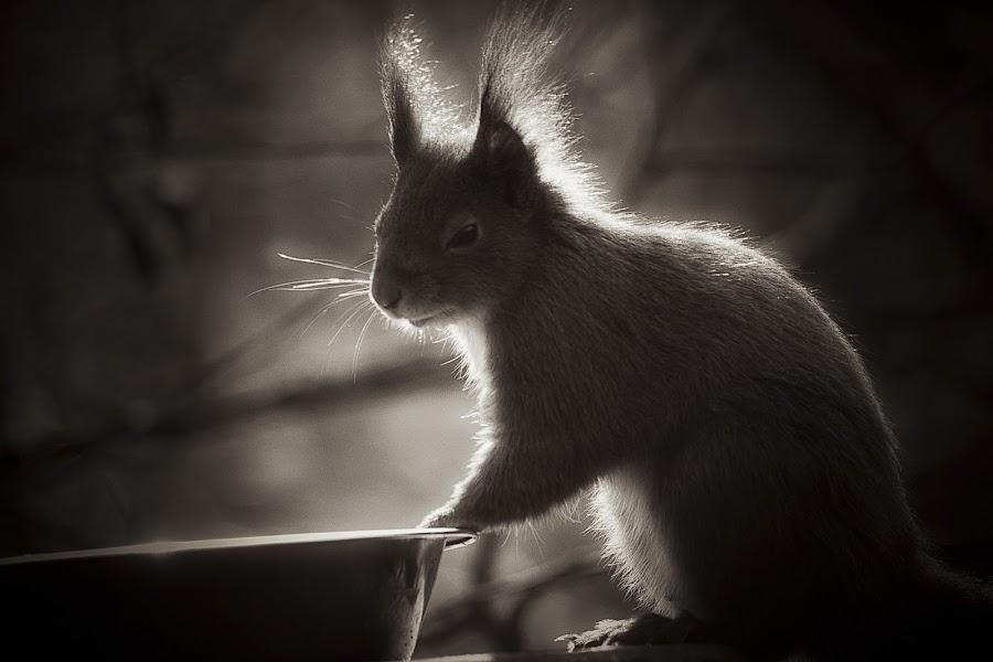 Squirrel in a soft glow by Fiona Etkin - Black & White Animals ( backlit, nature, black and white, red squirrel, british wildlife, rodent, portrait, soft glow, animal,  )