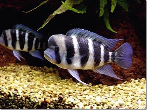 be-ca-canh-humphead_cichlid_frontosa_cichlid_cakylan_hoangquan6soc002-be-thuy-sinh