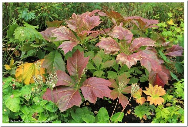 150911_AlaskaBG_Rodgersia-podophylla