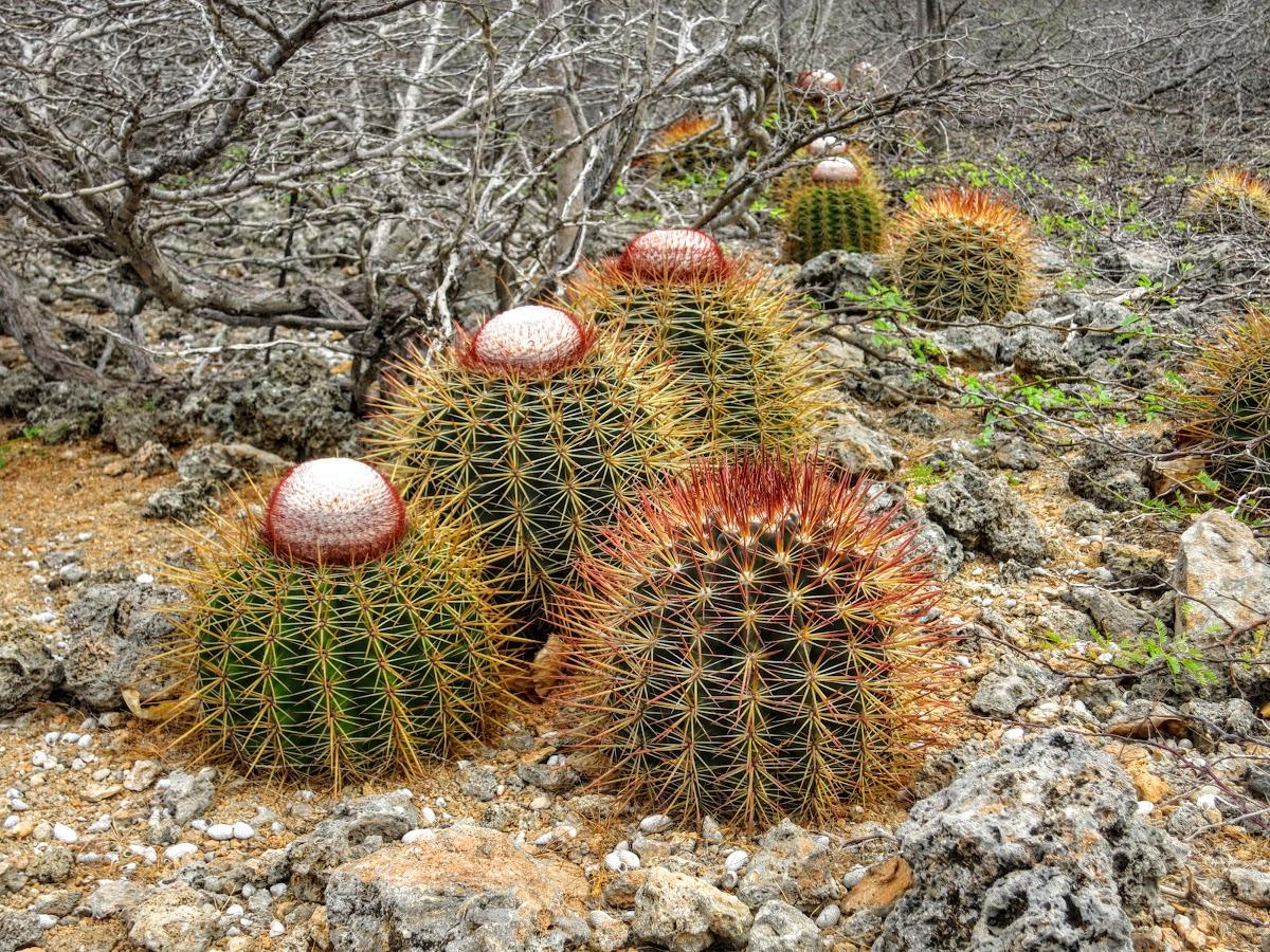 Cacti on Bonaire