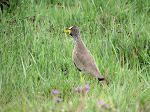 Wattled lapwing (photo by Clare)